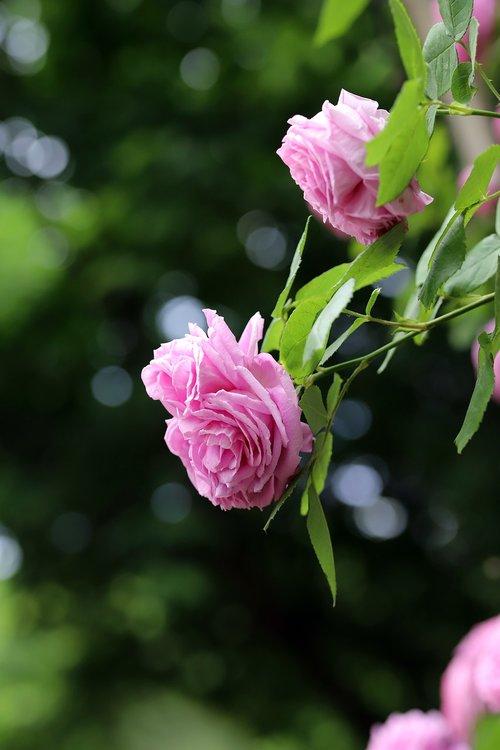 rose  petal  flowers