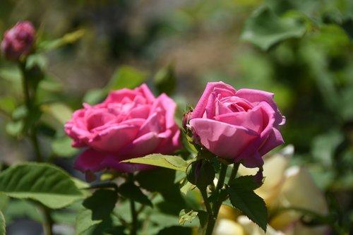 rose  maypole queen  garden