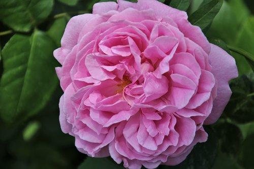 rose  roses  floribunda