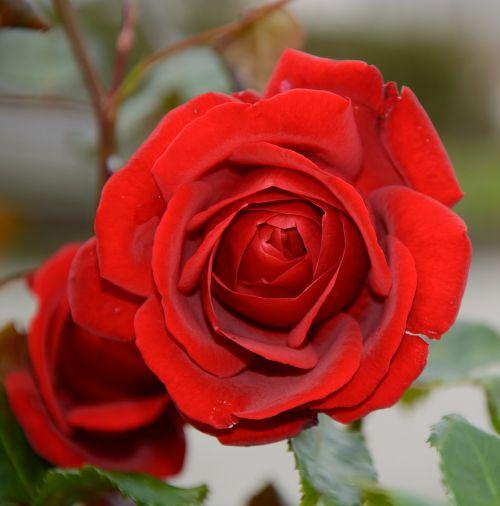 rožė,žiedas,žydėti,raudona,išaugo žydėti,atskirai,romantiškas,romantika