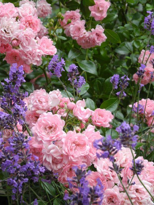 rose flower blütenmeer