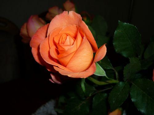 rose,orange,flower,blossom,bloom,rose bloom,fragrance,harmony,bud,beautiful,bloom,open rose,artistically,noble,plant,flora