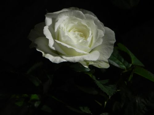 rose white flower