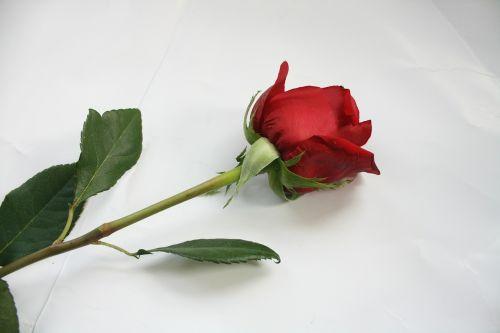 rose flower stem