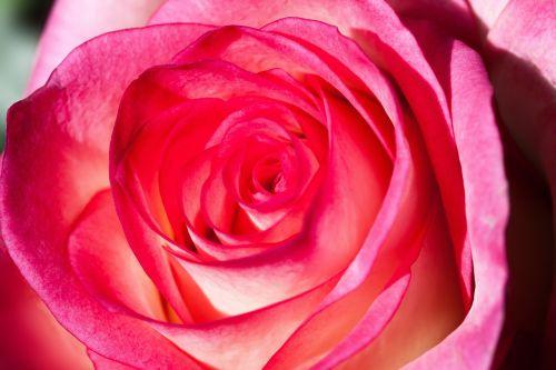 rose rosaceae composites