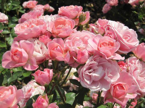 rose garden blossom