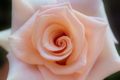 rožė,žiedas,žydėti,žydėti,Iš arti,lašiša,gėlė,išaugo žydėti,kvepalai