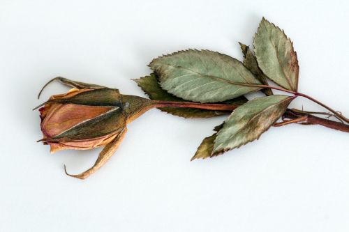 rose trockenblume dried