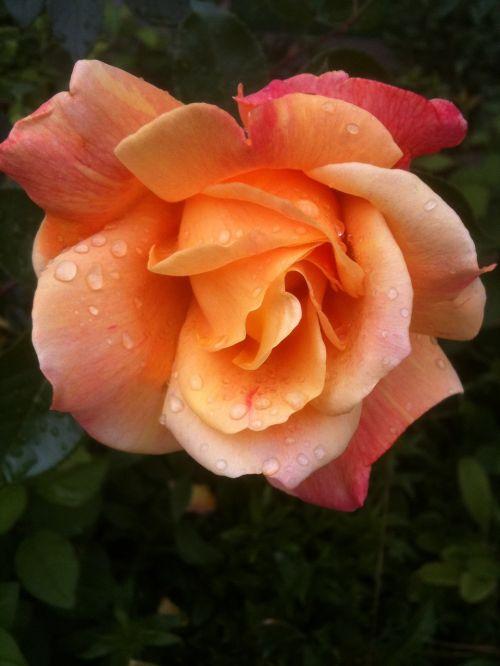 rose morgentau switzerland