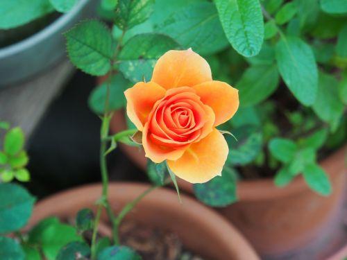rose,huang