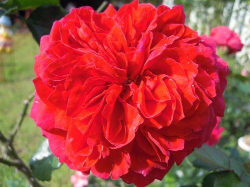 rose roses red