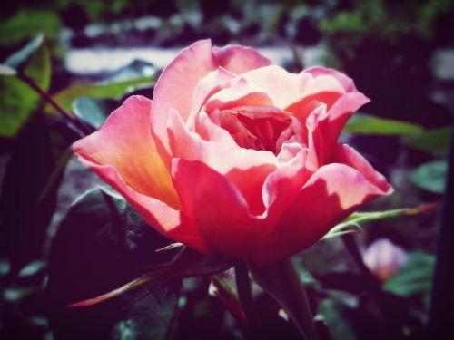 rožė, saulė, romantika, gamta, gėlė, vasara, erškėčių, žydėti, grožis, žiedas, žydėti, meilė, rožinis, raudona, romantiškas, augalas, sodas, Uždaryti, flora, išaugo žydėti, pragaras, saldus, rožių šiltnamius, gražus, kvapas, atmosfera, kvepalai, pavasaris, šviesus, rožių veisimas, žydėjo