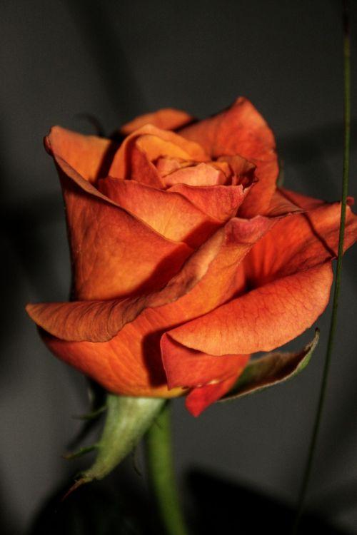 rožė,gėlė,žiedas,žydėti,augalas,rožių žydėjimas,gamta,išaugo žydėti,Uždaryti,romantiškas,romantika,meilė,kvepalai,oranžinė,makro,grožis,meilė