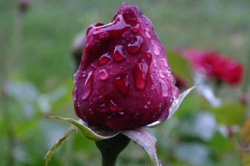 rose drip beaded