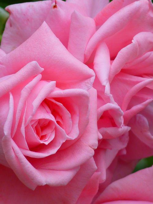 rožė,išaugo žydėti,žydėti,gėlė,rožinis,gražus,spalva,spalvinga