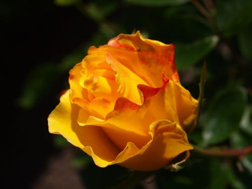 rose garden yellow
