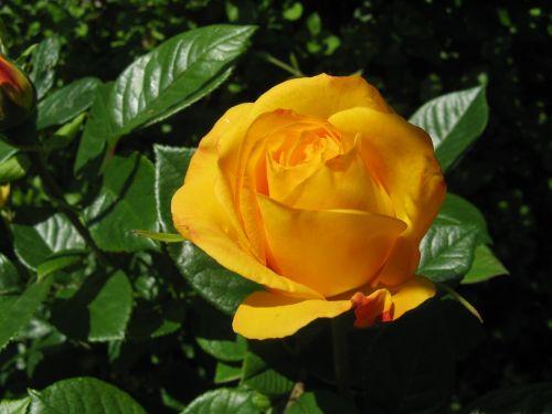 rožė,Arturo varpas,floribunda,auksas,sodas,gėlė,gėlių,auksinis,gamta,vasara,augalas,geltona,aromatingas,lapai,žydėti