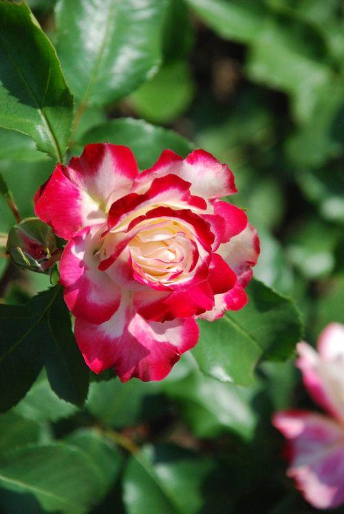 rožė, balta-raudona, gėlė, meilė, gamta, išaugo žydėti, žiedas, žydėti, žydėti, grožis