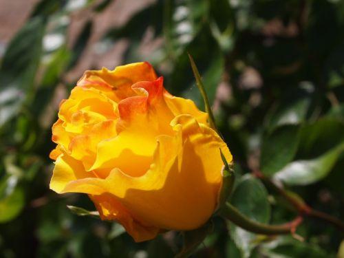 rose spring flourish