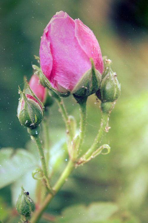 rožė,rožinis,sodas,žiedas,žydėti,gėlės,augalas,gamta,kvepalai,rožinės rožės,rožių šeimos,romantiškas,išaugo žydėti,sodo rožės,žydėti,vasara,budas,meilė,žiedlapiai,lapai,rožių žiedlapiai,flora,blizgučiai