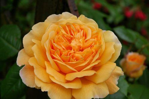 rose english rose rose variety