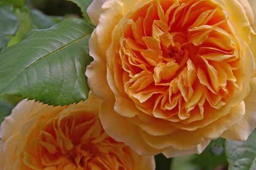 rose crown princess margareta english rose