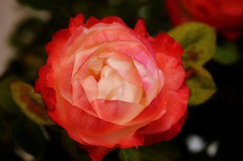 rose,white red,flower,rose bloom,nature,plant,blossom,bloom,beauty,bloom