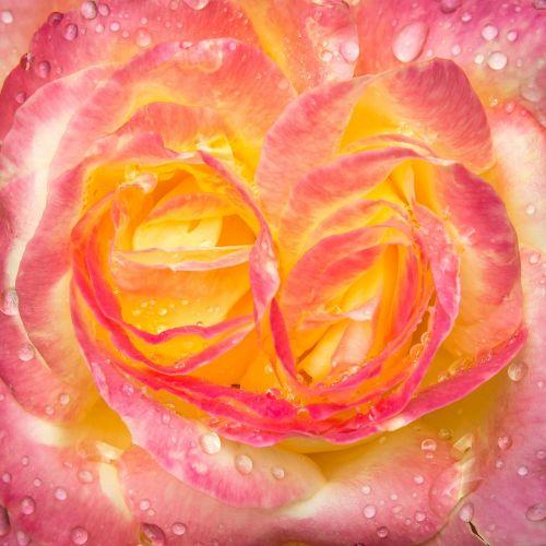 rose drip blossom