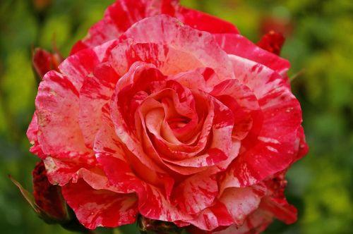 rose garden rose painter rose