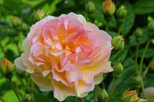rose garden rose multi coloured