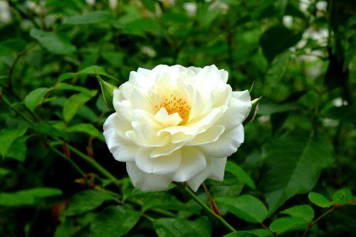 rose white rose white