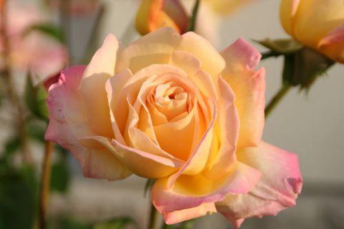 rose nature plant