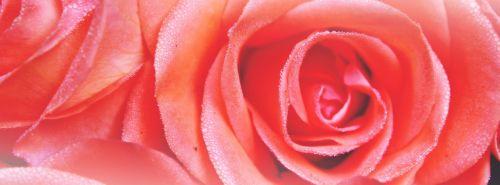 rožė,drėgnas,žiedas,žydėti,šlapias,lietus,rasa,išaugo žydėti,lašas vandens,meilė,lašelinė,raudona,romantiškas,romantika,gėlė,Raudona roze,žydėti,augalas,Uždaryti