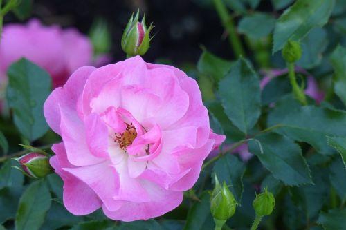 rose maxi vita blossom
