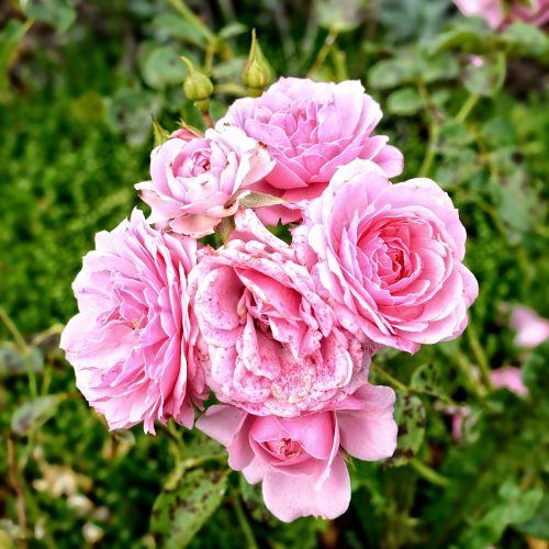rožė,žiedas,žydėti,rožinis,išaugo žydėti,gėlė,žydėti,grožis,meilė,Uždaryti