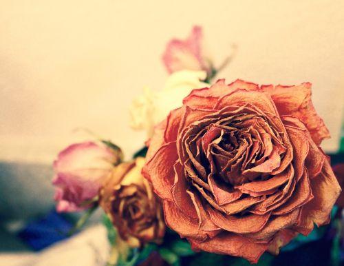 rose dead orange