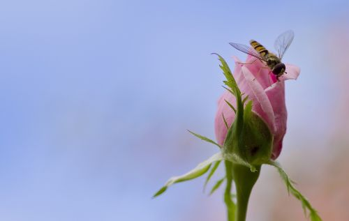 rose hoverfly mimicry