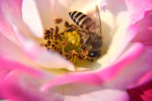 Rose And Honeybee 1