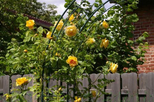 rose arch roses romantic