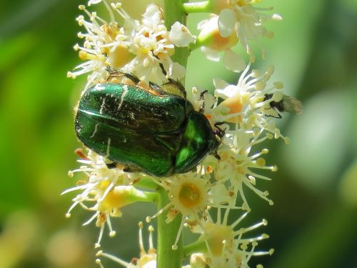 rose beetle beetle insect