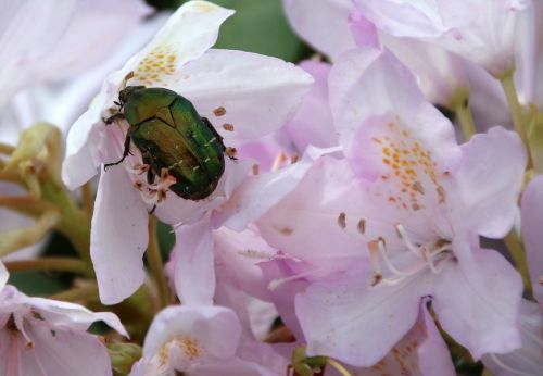 rose beetle insect green