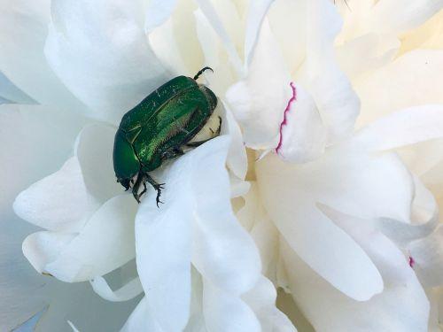 rose beetle green shiny
