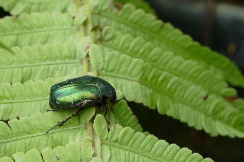 rose beetle aphid tropical beetles