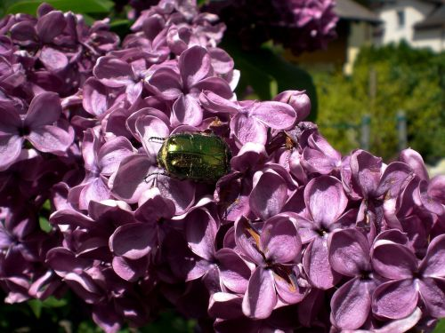 rose beetle shiny rose gold beetle beetle