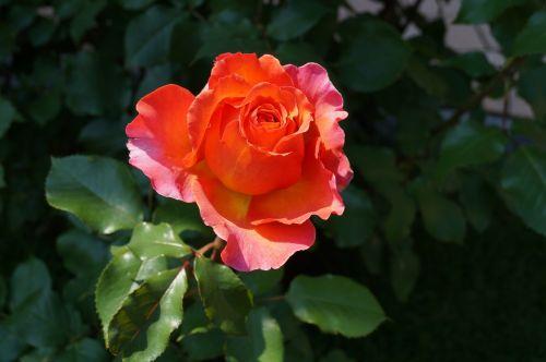 išaugo žydėti,pavasaris,žiedas,žydėti,rožė,albrecht dürer,raudona