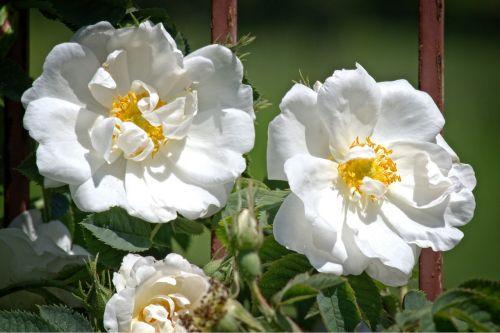 išaugo žydėti,balta,rožė,gėlė,žiedas,žydėti,romantiškas,romantika