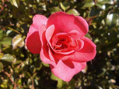 rose bloom  floribunda  flowers
