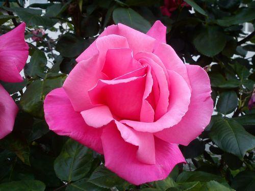 išaugo žydėti,rožė,gėlė,augalas,sodas,gamta,žiedlapiai,rožinis