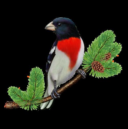 rose breasted grosbeak songbird bird