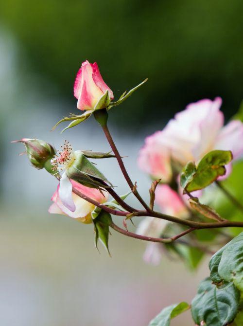 rožė, rožė & nbsp, budas, budas, gėlė, gražus, gamta, Iš arti, detalės, nuotrauka, vaizdas, rožių pumpuras